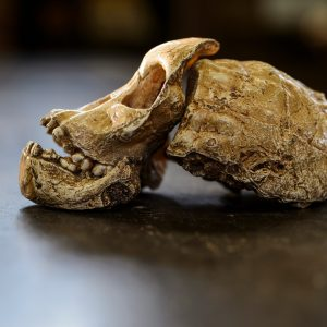 Sideview of a cast of an ancient skull