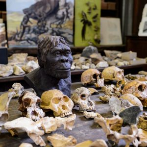 A selection of skulls on a table at the Maropeng Museum