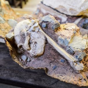 A skull and a bone embedded in breccia, a type of stone.