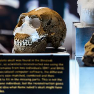 Skull of a homo naledi specimen in the Maropeng Museum